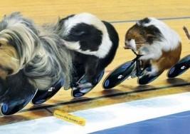 天竺鼠奧林匹克運動會月曆
