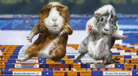 guinea-pig-games-9[5].jpg